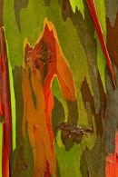 Tronc d'eucalyptus arc-en-ciel – détail 2