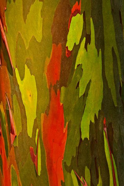 Tronc d'eucalyptus arc-en-ciel – détail 3