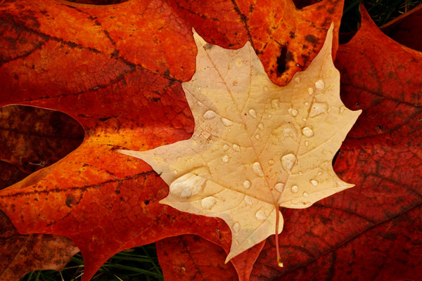 Feuille d'érable à l'automne après la pluie