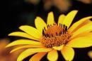 Fleur jaune sur fond noir