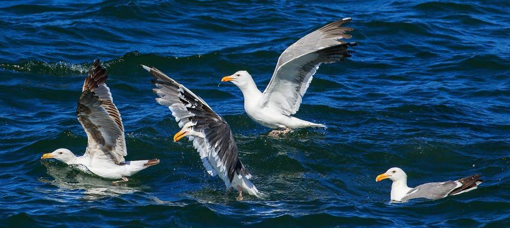 Goélands d'Audubon en mer