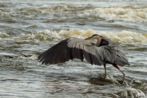 Grand héron ailes ouvertes