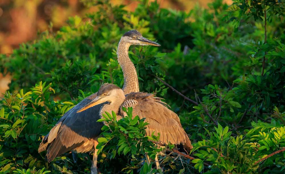 Grand hérons juvéniles sur leur nid au lever du soleil