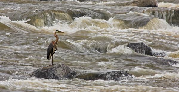 Grand héron dans les rapides en après-midi