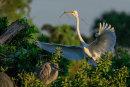 Grande aigrette atterrissant sur son nid avec une branche