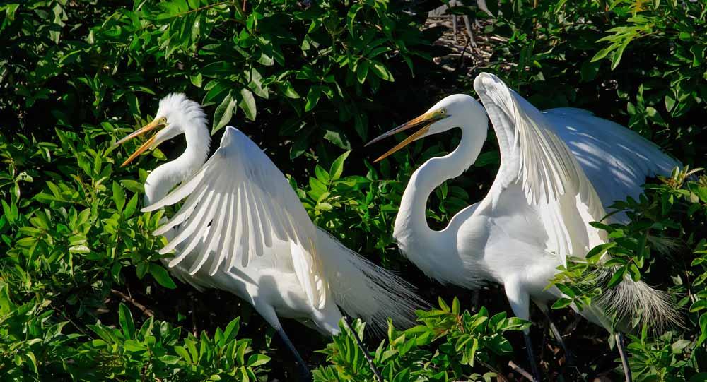 Couple de grandes aigrettes sur leur nid tout juste après leur accouplement