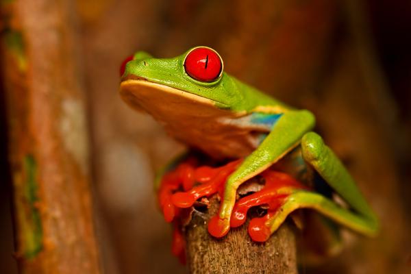 Grenouille aux yeux rouges de jour 1