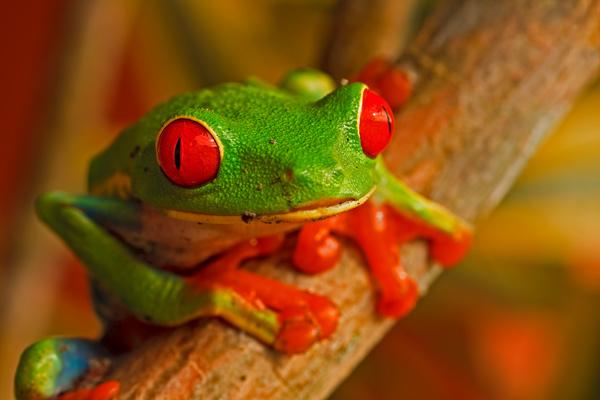 Grenouille aux yeux rouges de jour 2