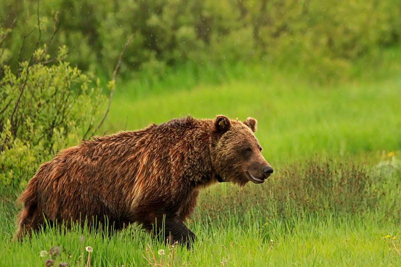 Grizzli en déplacement