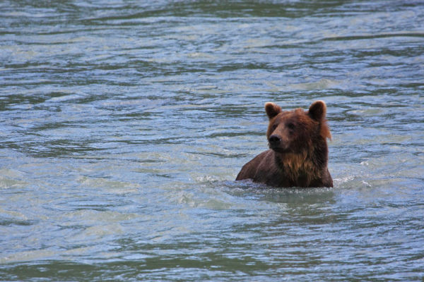 Grizzli aux aguets dans l'eau