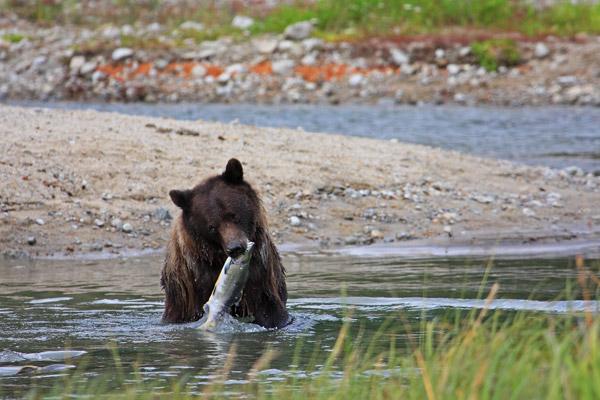 Grizzli capturant un saumon