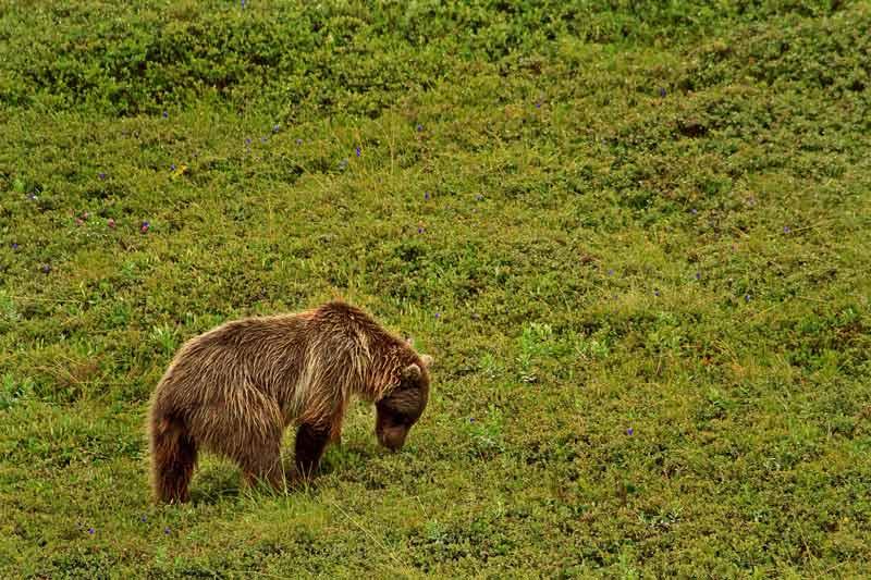 Grizzli se nourrisant
