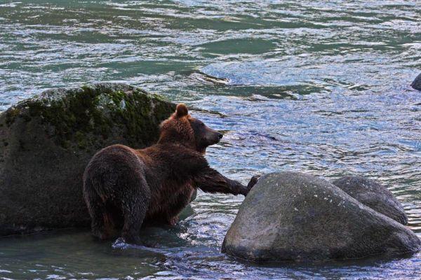 Grizzli se grattant le dos