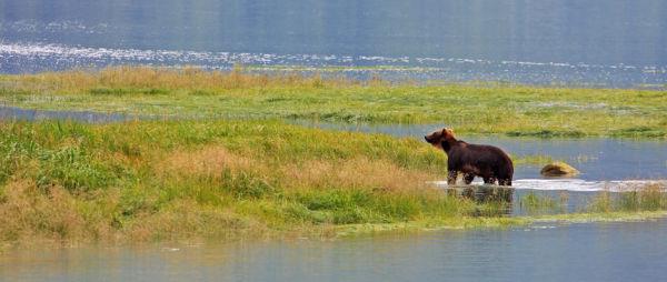 Grizzli sur la rivière Chilkoot