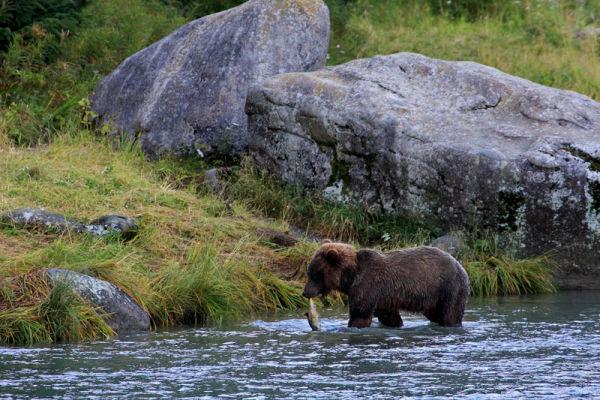 Grizzli ramenant un saumon