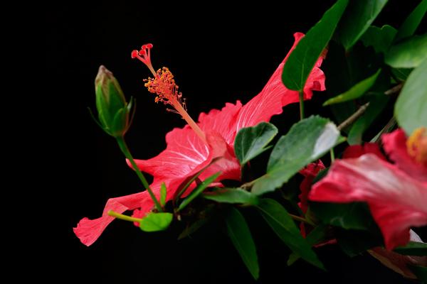 Hibiscus fuchsia