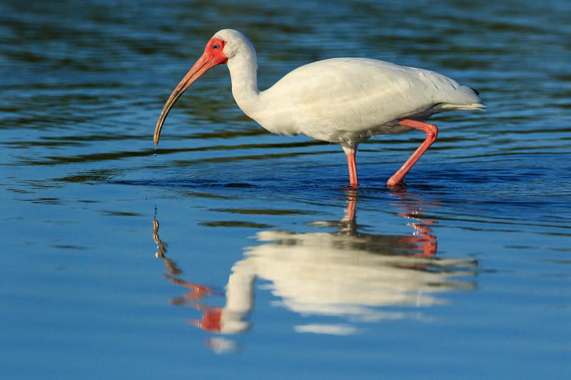 Ibis blanc et sa réflexion au lever du soleil