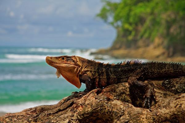 Iguane noir se chauffant au soleil