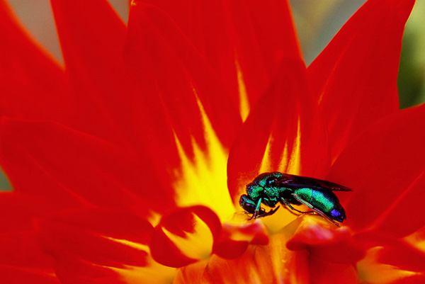 Insecte vert sur dahlia Weston Spanish Dancer