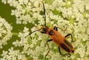 Insecte brun et noir sur fleurs blanches