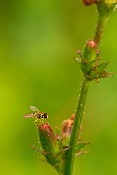 Insecte sur bouton de chicorée sauvage