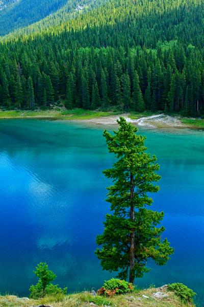 Conifère au Lac Minnewanka