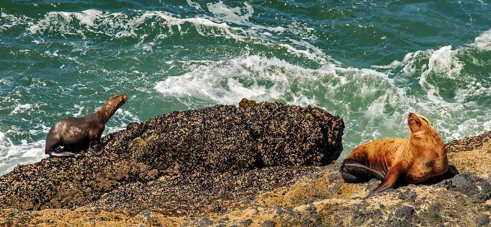Lion de mer de Steller et phoque commun