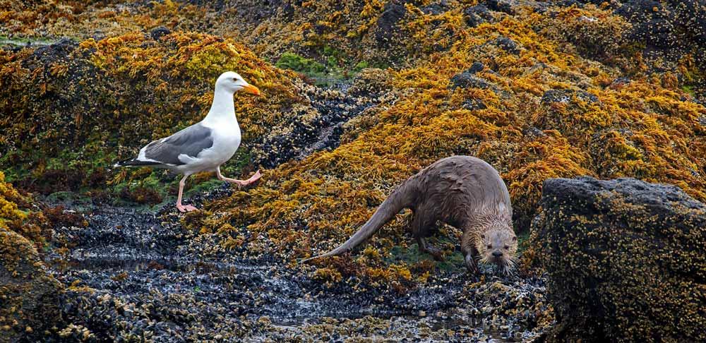 Loutre de mer et goéland d'Audubon
