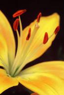 Lys jaune