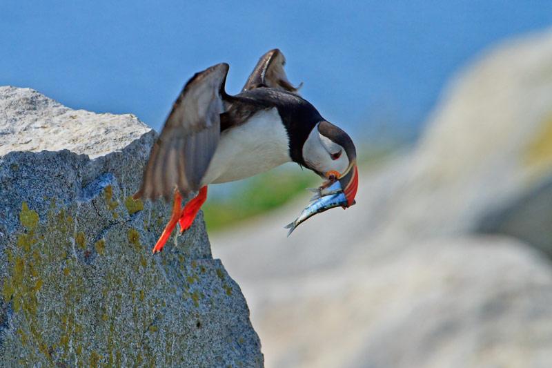 Macareux moine en vol avec poissons
