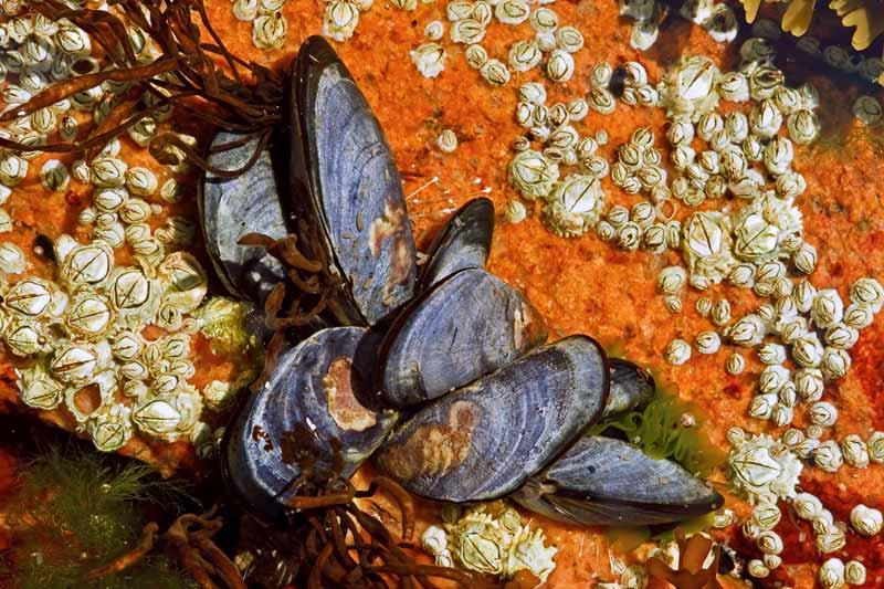 Moules communes et cirripèdes dans une flaque de marée