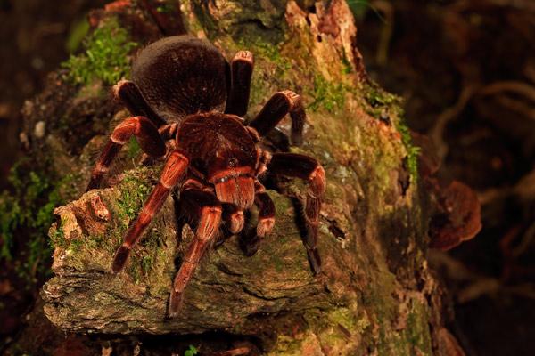 Mygale du Mexique à pattes rouges