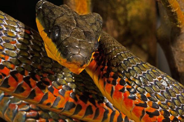 <em>Neo-tropical bird eating snake</em>