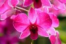 Orchidée denbrobium pompadour à contrejour