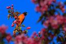 Oriole de Baltimore mâle dans un pommetier en fleurs