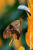 Papilio dardanus sur pachystachys