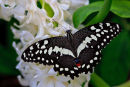 Papilio demodocus sur fleurs blanches