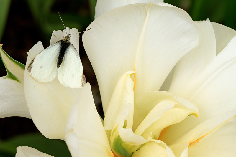 Papillon blanc sur fleur blanche