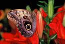 Papillon chouette sur lys rouge