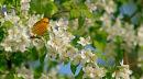 Paruline jaune mâle dans un pommier en fleurs