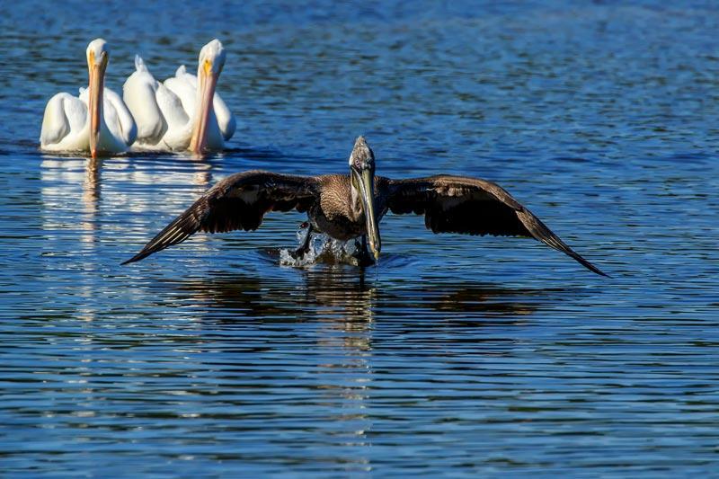 Pélican brun au décollage