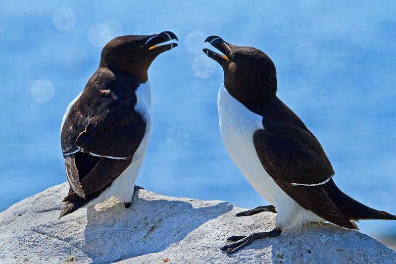 Deux petits pingouins