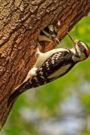 Pic chevelu mâle et son jeune au nid