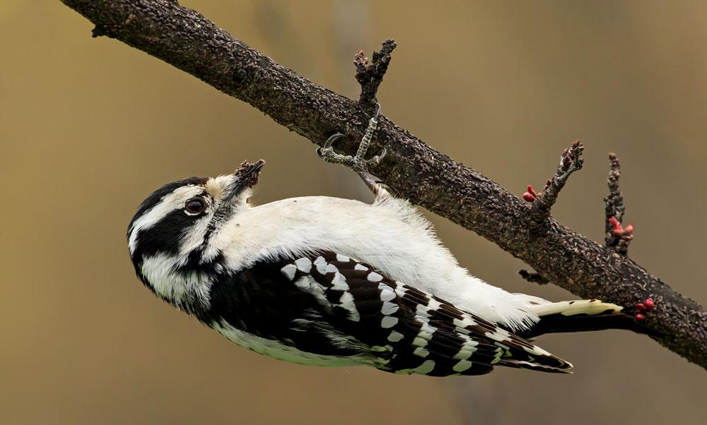 Pic mineur femelle se nourrissant sur une branche