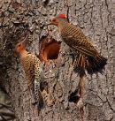Pics flamboyants femelles rivalisant pour un nid