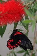 Porte-queue écarlate sur calliandre