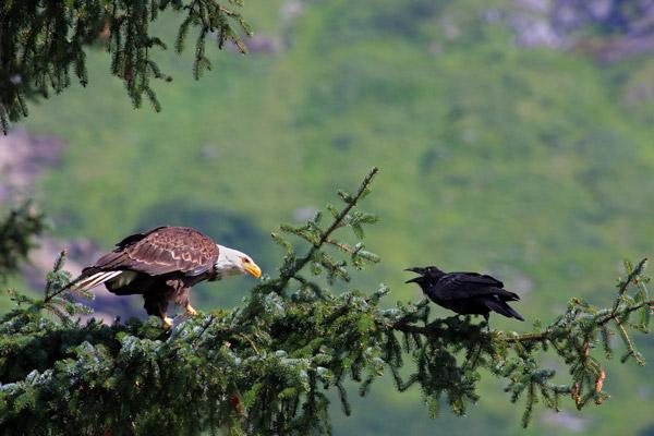 Le pygargue et le corbeau