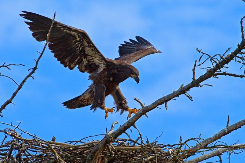 Pygargue à tête blanche juvénile atterissant sur son nid 2