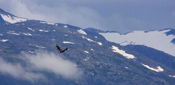 Pygargue à tête blanche juvénile en vol