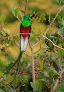 Quetzal resplendissant mâle
